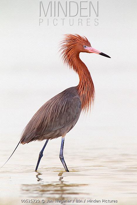 Reddish Egret (Egretta rufescens), Florida  -  Jan Wegener/ BIA