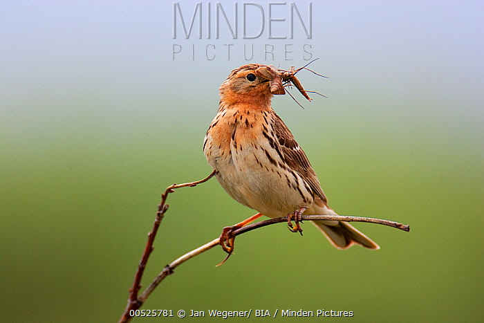 Red-throated Pipit (Anthus cervinus) carrying an insect, Norway  -  Jan Wegener/ BIA