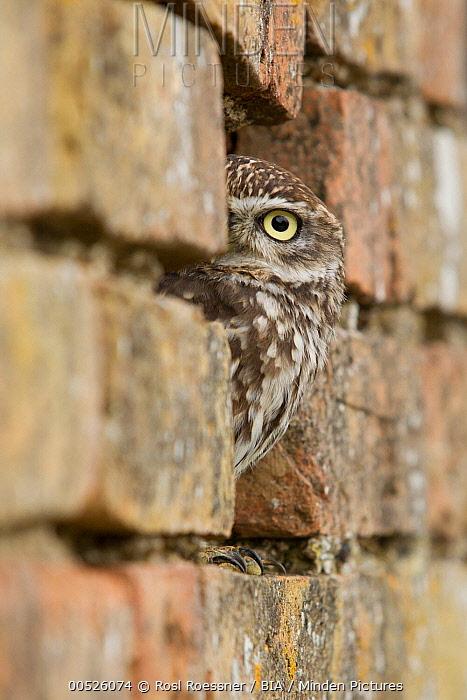Little Owl (Athene noctua) peeking from hole in brick wall, Rhineland-Palatinate, Germany  -  Rosl Roessner/ BIA