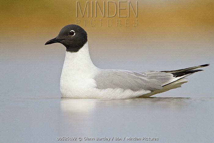 Bonaparte's Gull (Larus philadelphia), Manitoba, Canada  -  Glenn Bartley/ BIA