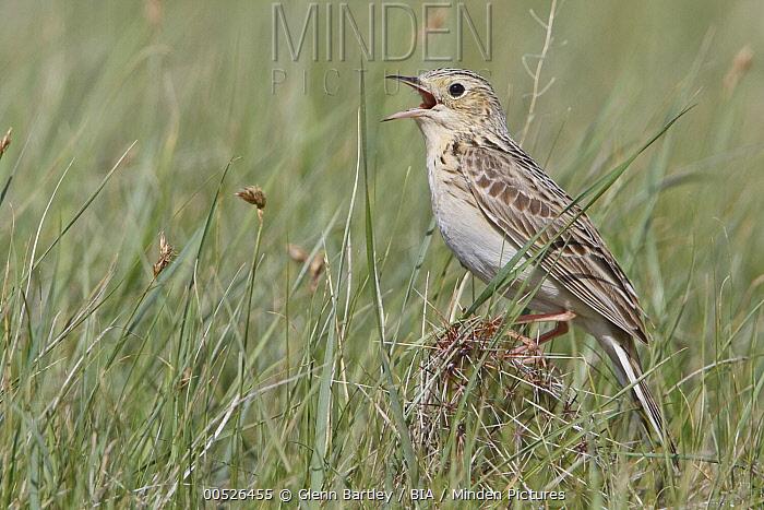 Sprague's Pipit (Anthus spragueii) singing, Saskatchewan, Canada  -  Glenn Bartley/ BIA