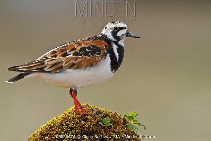 Ruddy Turnstone (Arenaria interpres), Manitoba, Canada  -  Glenn Bartley/ BIA