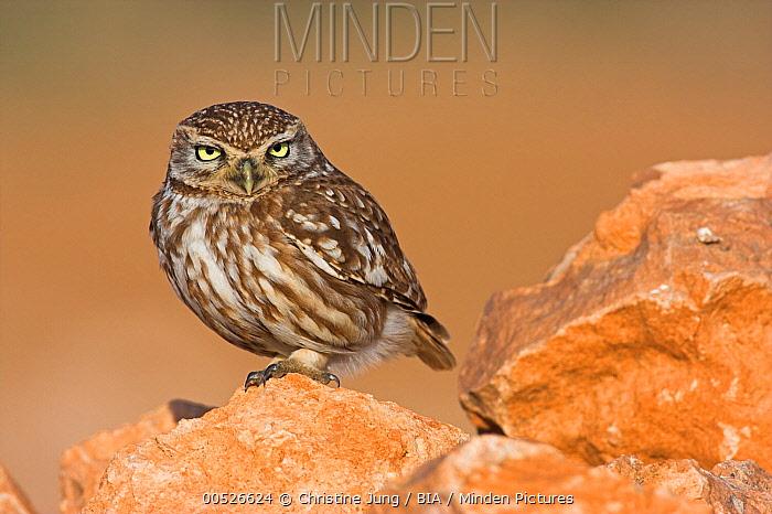 Little Owl (Athene noctua), Sidi Ifni, Morocco  -  Christine Jung/ BIA