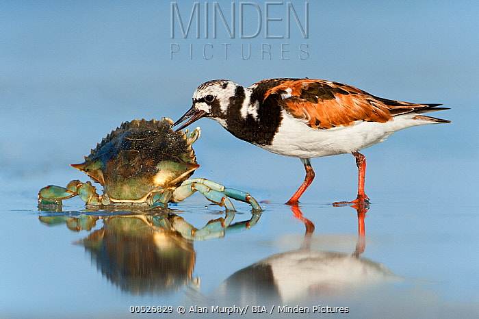 Ruddy Turnstone (Arenaria interpres) scavenging on a dead crab, Texas  -  Alan Murphy/ BIA
