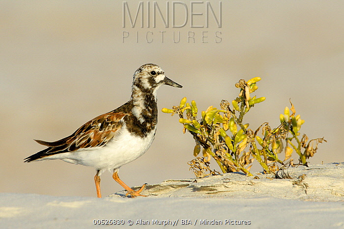 Ruddy Turnstone (Arenaria interpres), Texas  -  Alan Murphy/ BIA