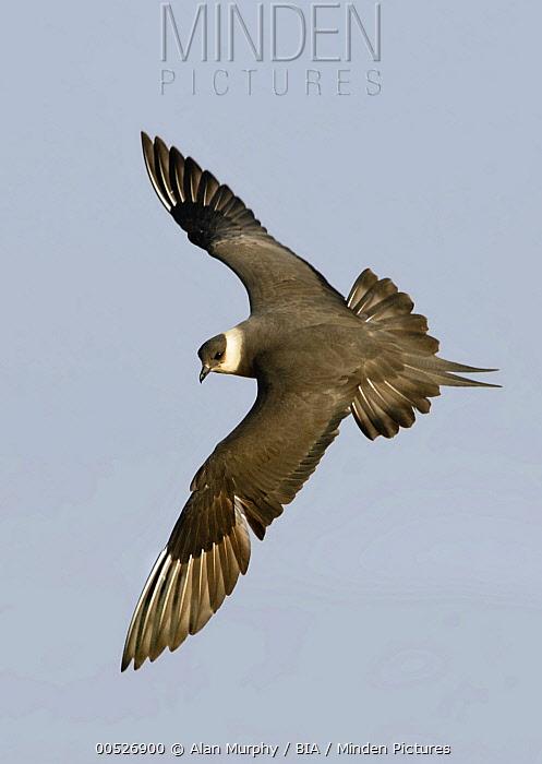 Arctic Skua (Stercorarius parasiticus) flying, Alaska  -  Alan Murphy/ BIA