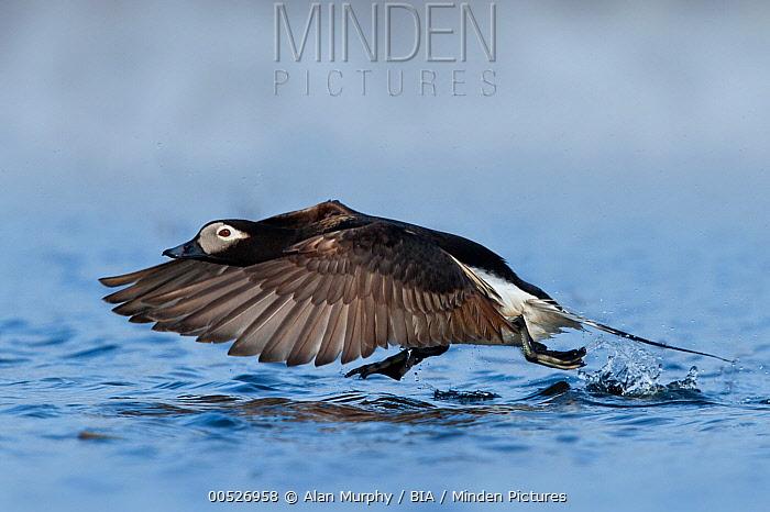 Long-tailed Duck (Clangula hyemalis) male flying, Alaska  -  Alan Murphy/ BIA