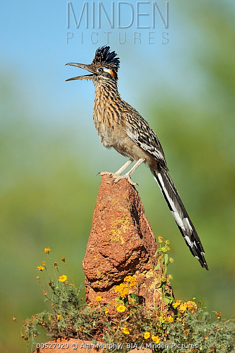 Greater Roadrunner (Geococcyx californianus) singing, Arizona  -  Alan Murphy/ BIA