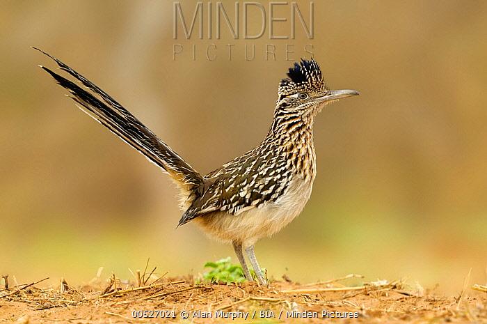 Greater Roadrunner (Geococcyx californianus), Arizona  -  Alan Murphy/ BIA