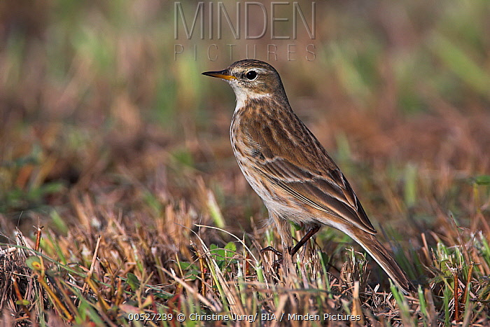 Water Pipit (Anthus spinoletta), Sohar, Oman  -  Christine Jung/ BIA