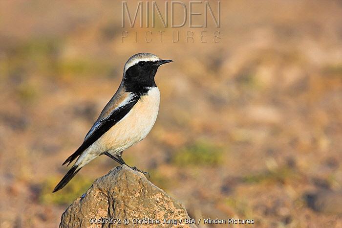 Desert Wheatear (Oenanthe deserti) male, Guelmim, Morocco  -  Christine Jung/ BIA