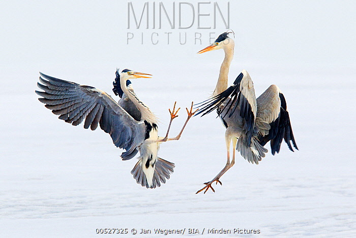 Grey Heron (Ardea cinerea) pair fighting, Germany  -  Jan Wegener/ BIA