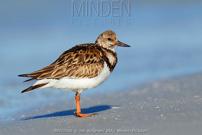 Ruddy Turnstone (Arenaria interpres), Florida  -  Jan Wegener/ BIA