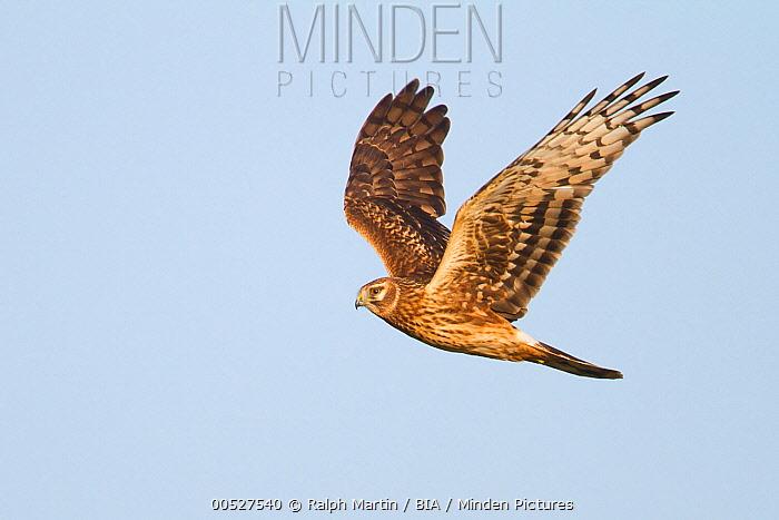 Northern Harrier (Circus cyaneus), Schleswig-Holstein, Germany  -  Ralph Martin/ BIA