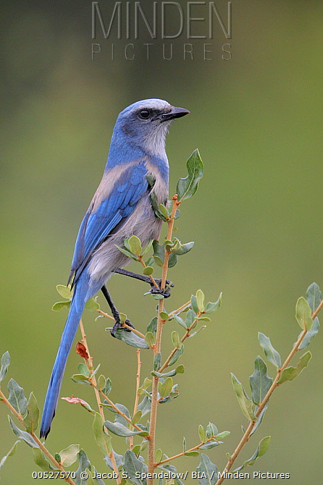 Florida Jay (Aphelocoma coerulescens), Florida  -  Jacob S. Spendelow/ BIA