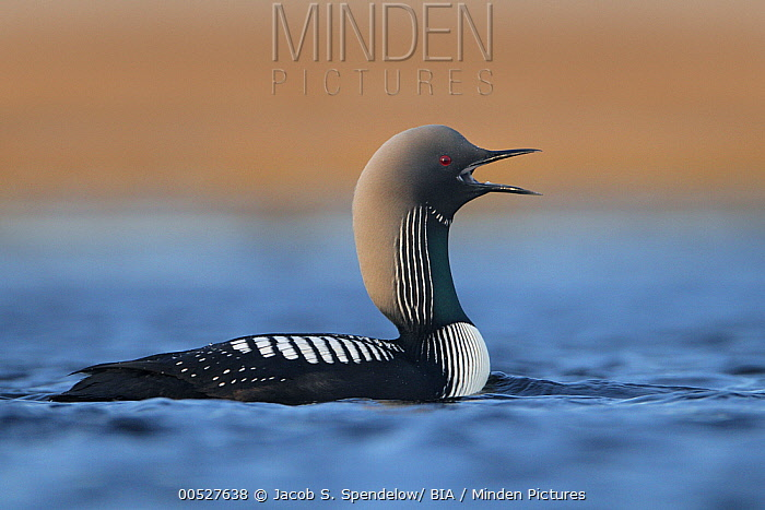 Pacific Loon (Gavia pacifica) calling, Alaska  -  Jacob S. Spendelow/ BIA