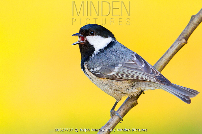 Coal Tit (Periparus ater), Baden-Wurttemberg, Germany  -  Ralph Martin/ BIA