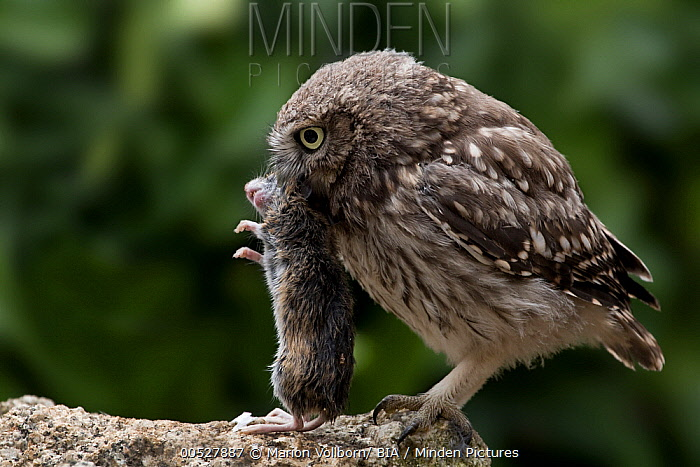 Little Owl (Athene noctua) with rodent prey, Castile-La Mancha, Spain  -  Marion Vollborn/ BIA