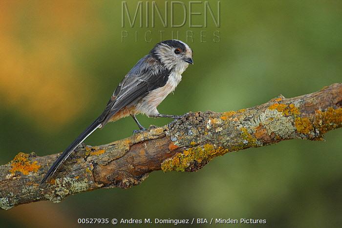 Long-tailed Tit (Aegithalos caudatus), Cadiz, Spain  -  Andres M. Dominguez/ BIA