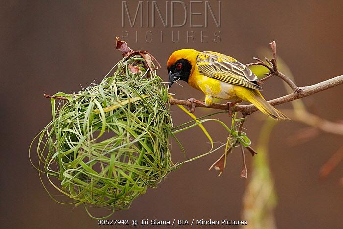 Masked-Weaver (Ploceus velatus) male at nest, Windhoek, Namibia  -  Jiri Slama/ BIA