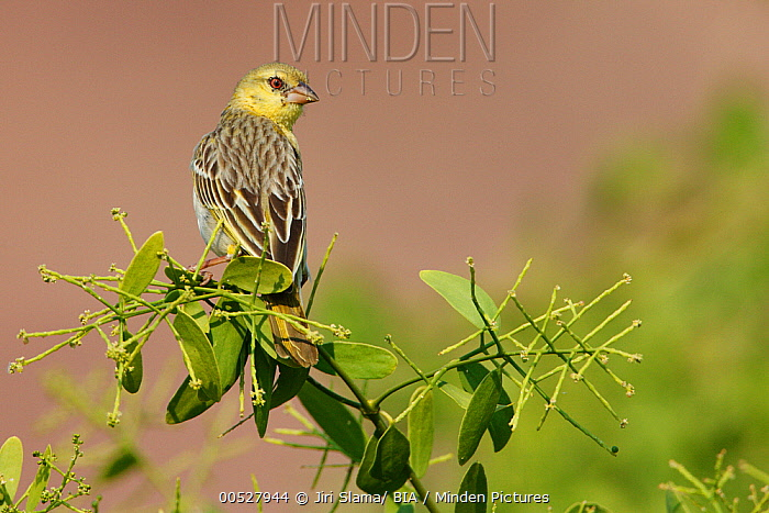 Masked-Weaver (Ploceus velatus) female, Kunene, Namibia  -  Jiri Slama/ BIA
