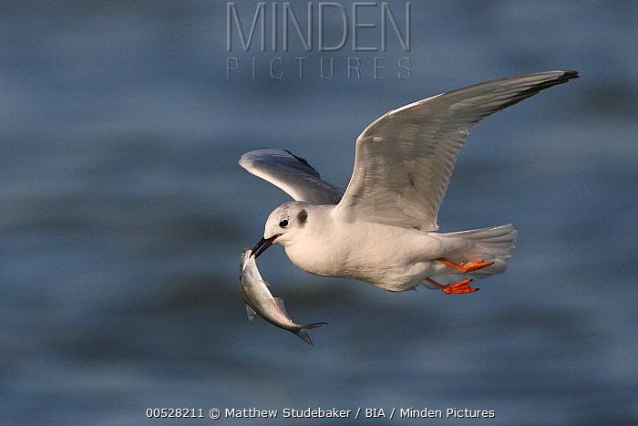 Bonaparte's Gull (Larus philadelphia), Canada  -  Matthew Studebaker/ BIA