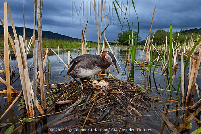 Red-necked Grebe (Podiceps grisegena) at nest in swamp, British Columbia, Canada  -  Connor Stefanison/ BIA