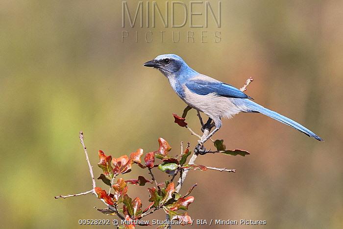 Florida Jay (Aphelocoma coerulescens), Florida  -  Matthew Studebaker/ BIA
