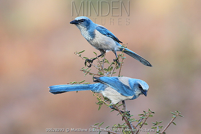 Florida Jay (Aphelocoma coerulescens) pair, Florida  -  Matthew Studebaker/ BIA