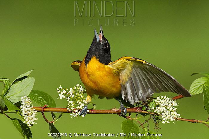 Baltimore Oriole (Icterus galbula) male calling, Ohio  -  Matthew Studebaker/ BIA