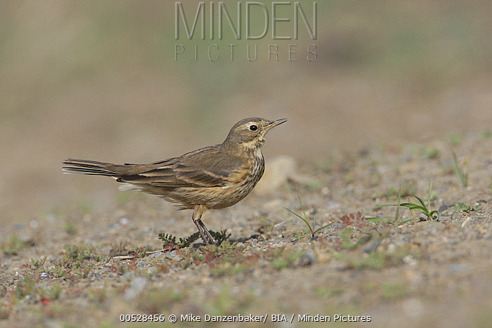 American Pipit (Anthus rubescens), California  -  Mike Danzenbaker/ BIA