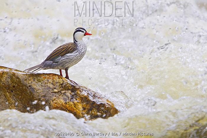 Torrent Duck (Merganetta armata), Ecuador  -  Glenn Bartley/ BIA