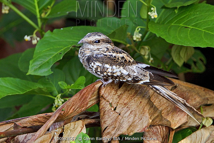 Ladder-tailed Nightjar (Hydropsalis climacocerca), Ecuador  -  Glenn Bartley/ BIA
