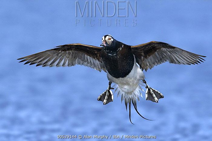 Long-tailed Duck (Clangula hyemalis), Alaska  -  Alan Murphy/ BIA