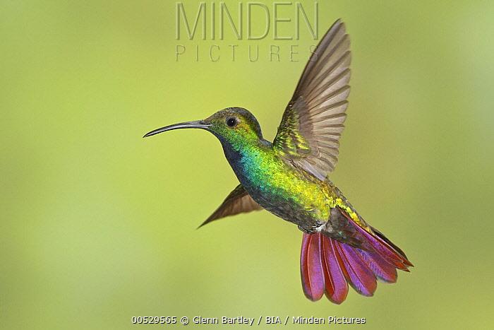 Green-breasted Mango (Anthracothorax prevostii) male, Costa Rica  -  Glenn Bartley/ BIA