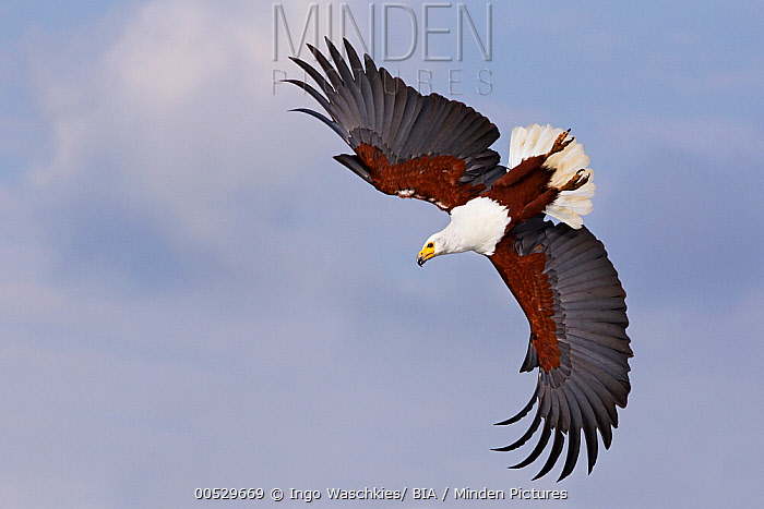 African Fish Eagle (Haliaeetus vocifer) flying, Lake Nakuru, Kenya  -  Ingo Waschkies/ BIA