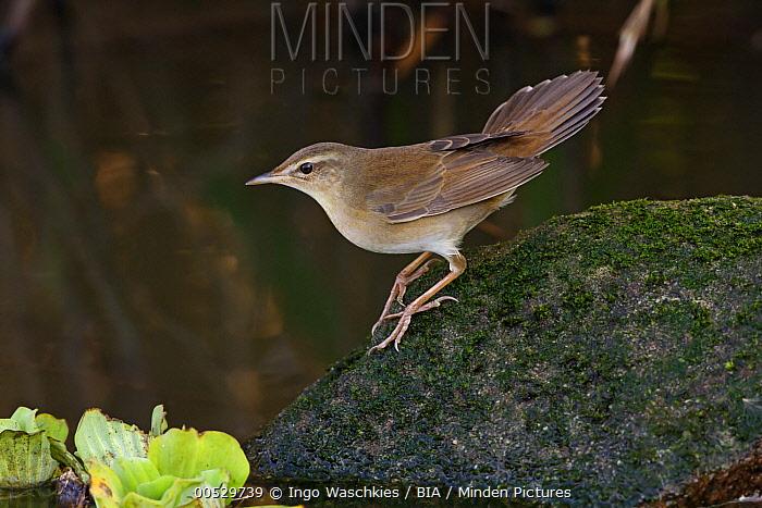Middendorff's Grasshopper-Warbler (Locustella ochotensis), Guandu Wetlands, Taiwan  -  Ingo Waschkies/ BIA