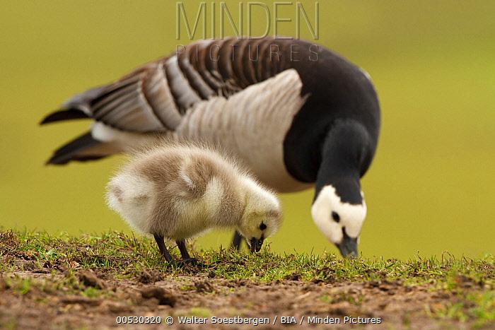 Barnacle Goose (Branta leucopsis) adult and chick feeding, Utrecht, Netherlands  -  Walter Soestbergen/ BIA