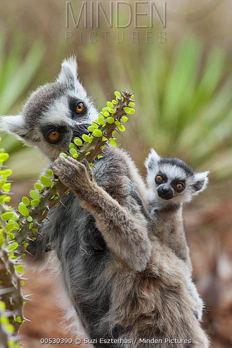 Ring-tailed Lemur (Lemur catta) mother with week-old baby feeding on Madagascan Ocotillo (Alluaudia procera) cactus, Berenty Private Reserve, Madagascar  -  Suzi Eszterhas