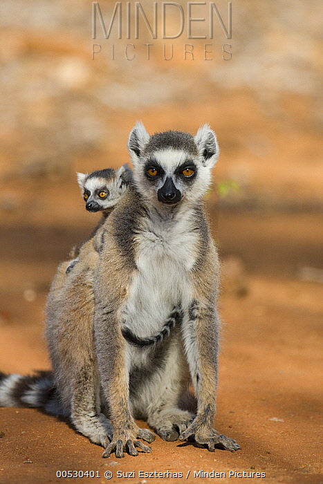 Ring-tailed Lemur (Lemur catta) mother and two-week-old baby, Berenty Private Reserve, Madagascar  -  Suzi Eszterhas