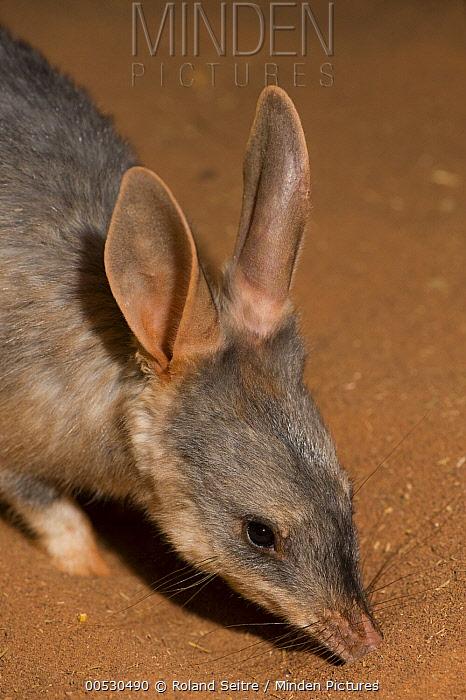 Bilby (Macrotis lagotis) smelling ground, Adelaide Zoo, Adelaide, South Australia, Australia  -  Roland Seitre