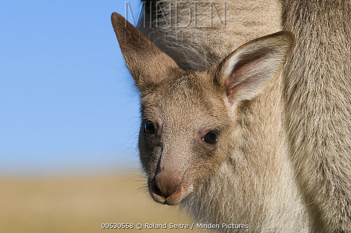 Eastern Grey Kangaroo (Macropus giganteus) joey in mother's pouch, New South Wales, Australia  -  Roland Seitre