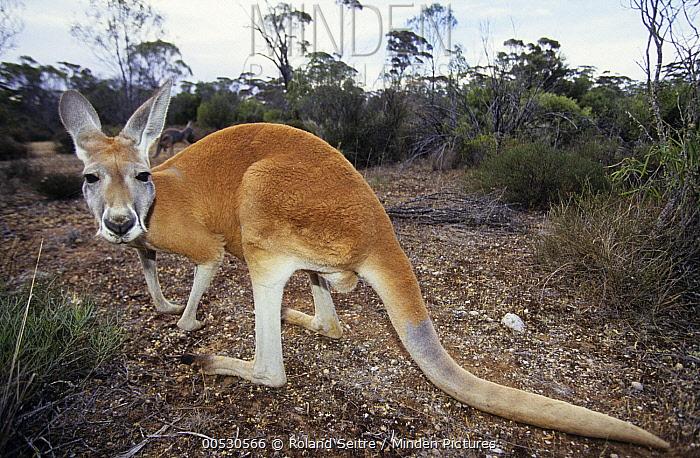 Red Kangaroo (Macropus rufus), Australia  -  Roland Seitre