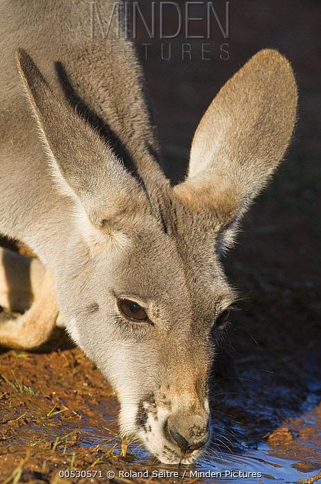Red Kangaroo (Macropus rufus) drinking, Thargomindah, Australia  -  Roland Seitre