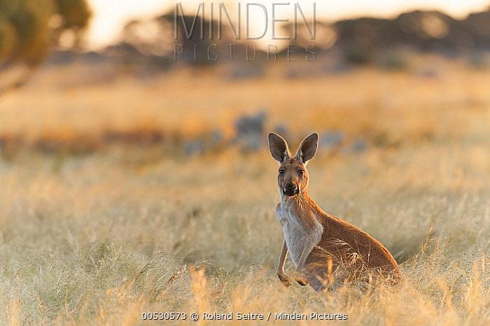 Red Kangaroo (Macropus rufus) in grassland, Western Australia, Australia  -  Roland Seitre