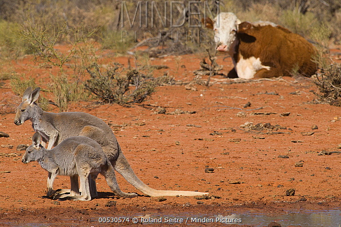 Red Kangaroo (Macropus rufus) mother and joey near Domestic Cattle (Bos taurus) cow, Australia  -  Roland Seitre