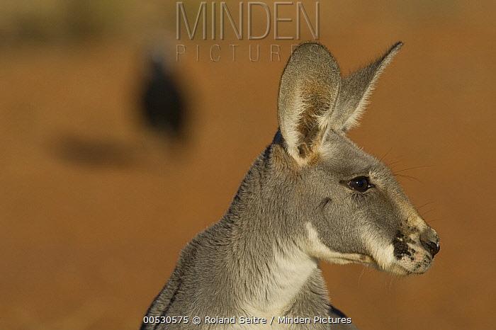 Red Kangaroo (Macropus rufus), Thargomindah, Australia  -  Roland Seitre