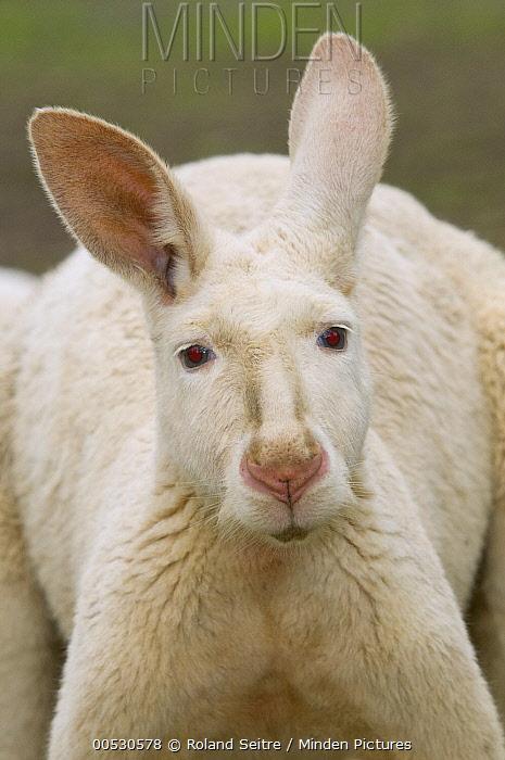 Red Kangaroo (Macropus rufus) albino, Adelaide, South Australia, Australia  -  Roland Seitre