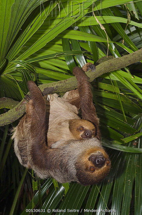 Southern Two-toed Sloth (Choloepus didactylus) mother and young hanging in tree, Singapore Zoo, Singapore  -  Roland Seitre