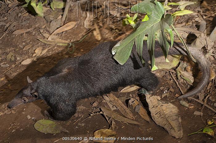 Southern Anteater (Tamandua tetradactyla), Lima, Peru  -  Roland Seitre